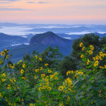 Black-Eyed Susans at Looking Glass Rock