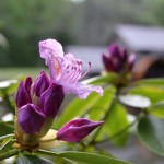 Catawba Rhododendron at Mabry Mill