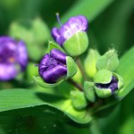 Spiderwort buds