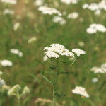Field of Yarrow
