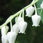 Sourwood Tree Blooms
