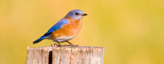 Bluebird on a Fencepost