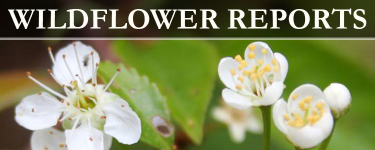 Blue Ridge Parkway WIldflower Reports