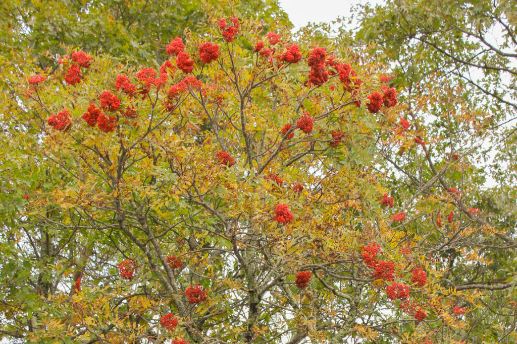 Mountain Ash Trees
