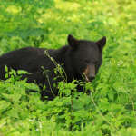 Black Bear in the Undergrowth