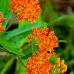 Blooming Butterfly Weed