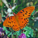 Gulf Fritillary on Clover
