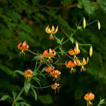 Late Summer Turk's Cap Lily