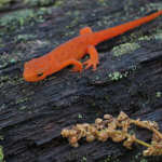 Orange Newt on the Appalachian Trail