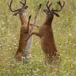 Sparring Bucks