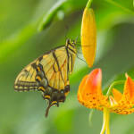 Tiger Swallowtail on Carolina Lily