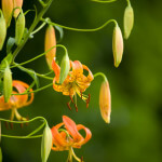 Turk's Cap Lily on the Parkway