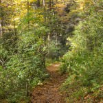 The first part of the trail winds through a grove of towering trees on a narrow rhododendron-lined pathway.