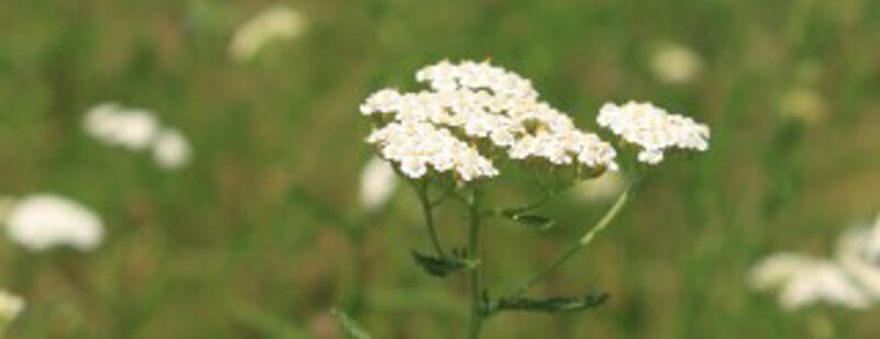 yarrow-header